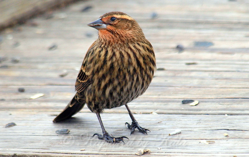 Very Colorful Female Red-Winged Blackbird