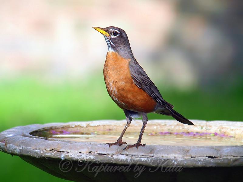 My Pretty Robin