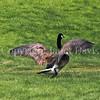 Branta canadensis - Canada goose 2