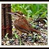 One of my Pair of Carolina Wrens