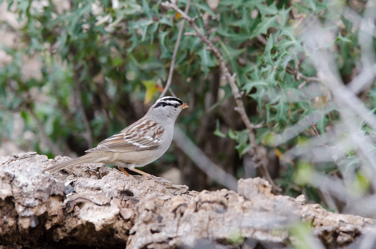 While-crowned Sparrow