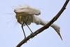 Juvenile Egret