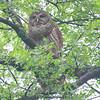 Papa Owl Was Nearby