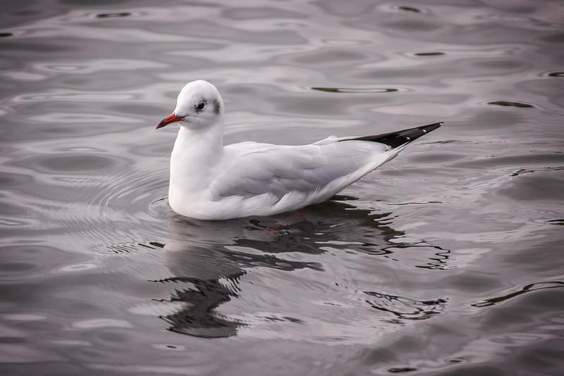 Black-headed gulls / Hettumáfur (Chroicocephalus ridibundus)