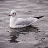 Black-headed gull / Hettumáfur (Chroicocephalus ridibundus)