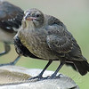 Sleeping Baby Cowbird Wakes Up