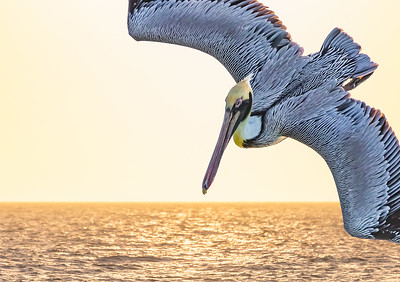 Brown pelican dive
