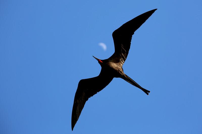 Frigatebird, Daphne Major Islet, Galápagos Islands, Ecuador