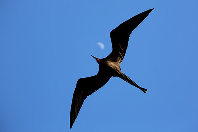 Frigatebird, Daphne Major Islet, Galápagos Islands, Ecuador