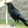 Huge Crow At My Bird Bath