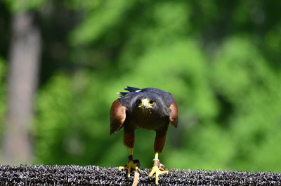 Accipitridae -  Parabuteo unicinctus - Harris's Hawk