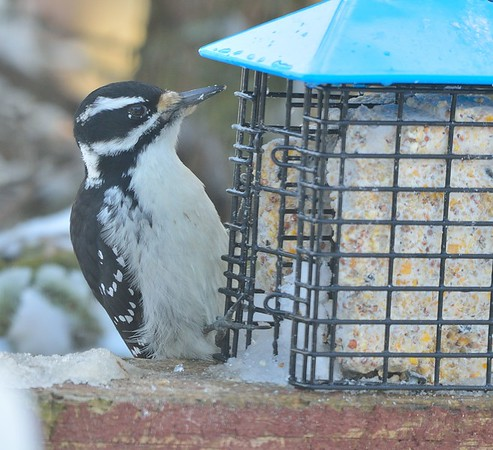 Hairy Woodpecker, female