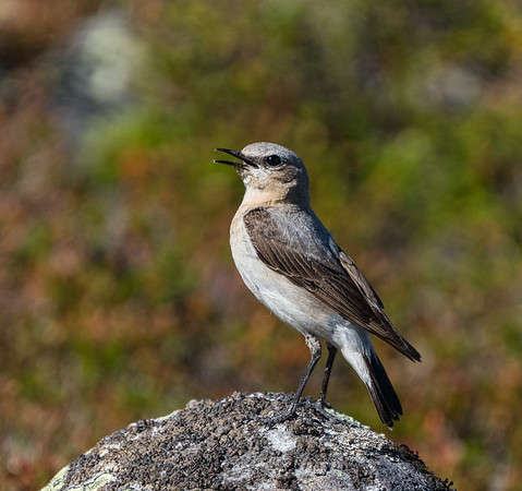 The northern wheatear (stenskvätta) was a lovely companion wherever I went during my trek in Femundsmarka!