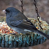 Dark-Eyed Junco ('slate colored')