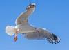 Seagull 27