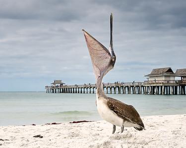 Pelican, Naples, FL