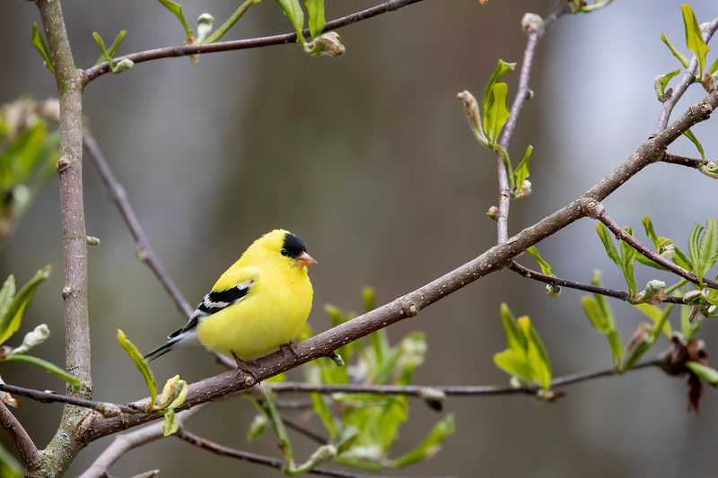 Goldfinch 69A6696