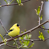 Goldfinch 69A6696