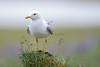 Mew Gull,