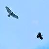 Hawk, Crow