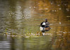 Hooded Mergansers.