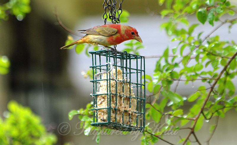 Wet Summer Tanager