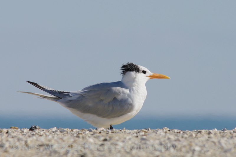 Royal Tern (Thalasseus maximus) Assateague Island, VA 11/2013