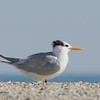 Royal Tern (Thalasseus maximus) Assateague Island, VA 11/2013