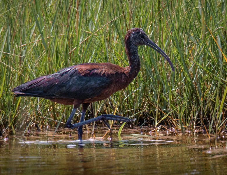 Glossy Ibis one foot at a time!
