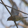 Bluebird Wing