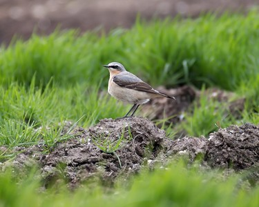 Wheatear at Compton May 1st 2018 c