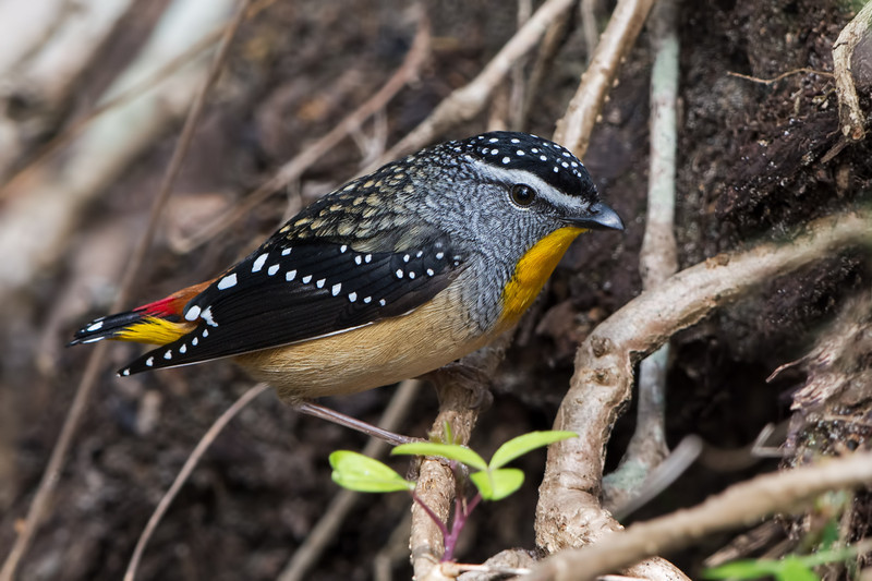 Male Spotted Pardalote