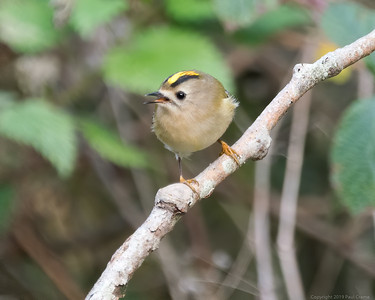 Goldcrest at Woolhampton 3 - 11th November2019