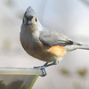 Tufted Titmouse Looking A Bit Goofy