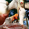 Roseate Spoonbill Feeding Chicks, St Augustine Alligator Farm, FL
