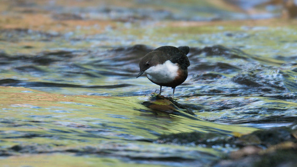 First sighting - Dipper in the River Wye 2 - Rhayader 2019
