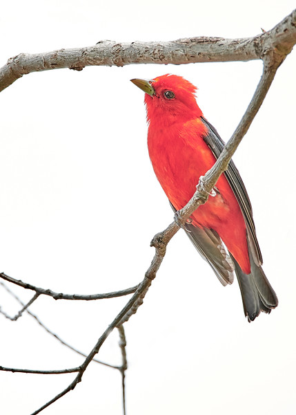 Scarlet Tanager Gives Me The Eye