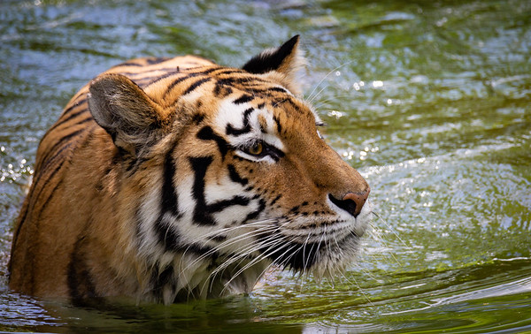 Tiger at the National Zoo