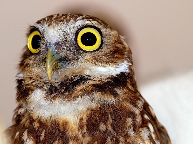 Burrowing Owl Face Shot
