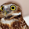 Burrowing Owl Face Shot