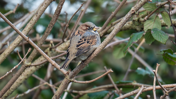 House Sparrow on opposite side of the canal 2 - Newbury