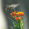 Hummingbirds Like Milkweed View 5