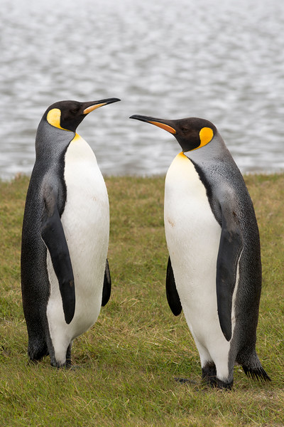 King Penguin Pair #2
