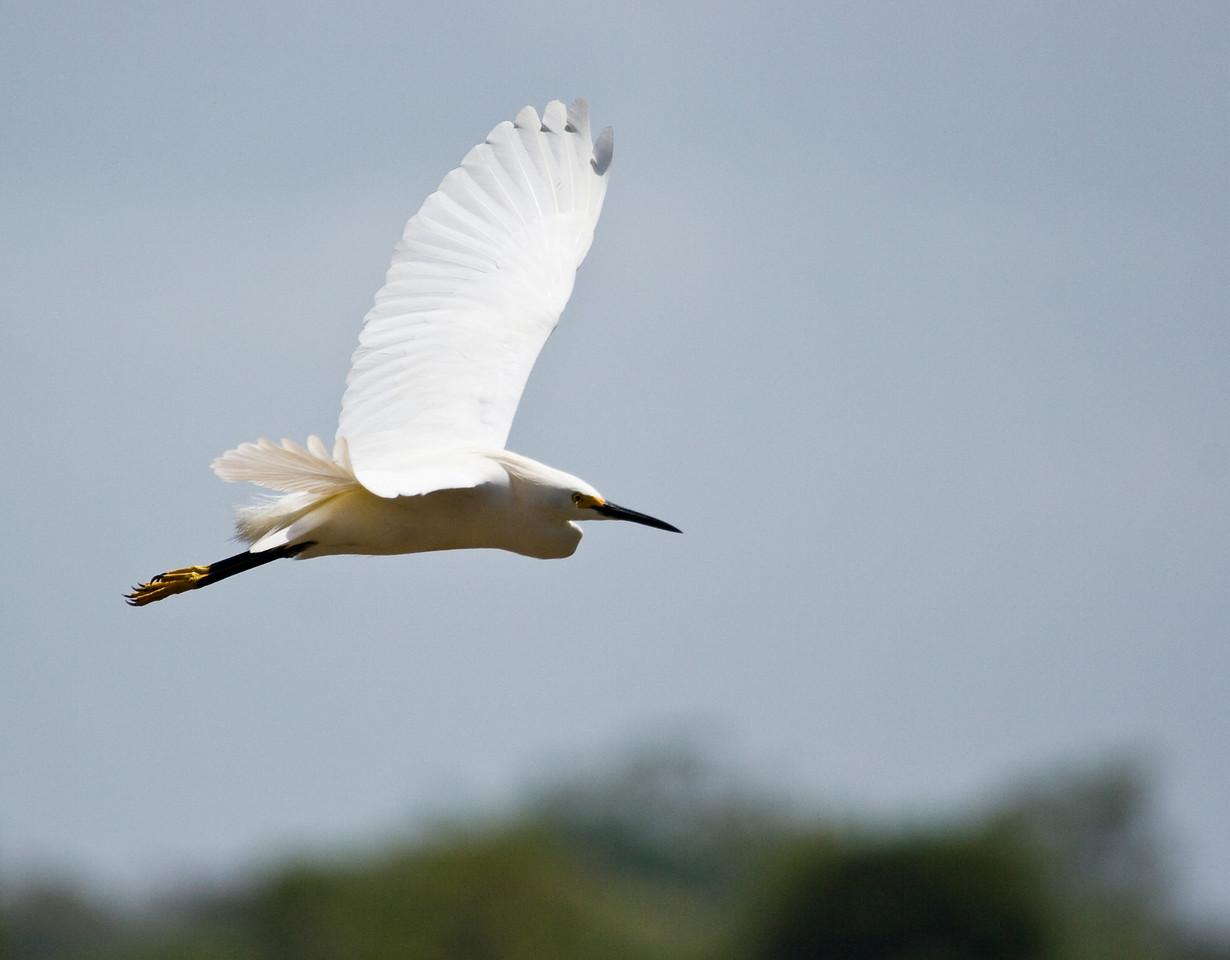 Great Egret.<br /> <br /> Location: Orinoco River Delta, Venezuela<br /> <br /> Lens used: Canon 100-400mm f4.5-5.6 IS