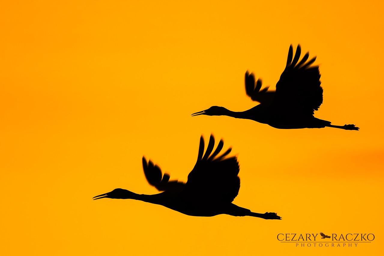 Sandhill Cranes (Antigone canadensis)
