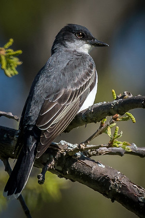 Eatern Kingbird