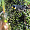 Setophaga dominica – Common Yellow throated warbler