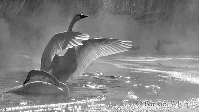 Whooper Swans I