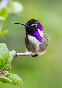 A Costa's Hummingbird. Baja California, December, 2013.