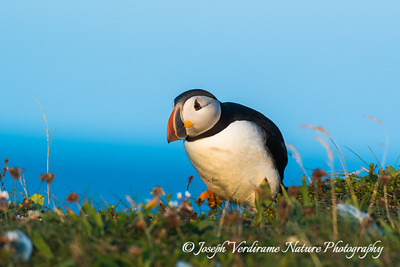 Puffin waddles along